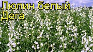Люпин белый Дега (Люпин белый Dega). Краткий обзор, описание характеристик, где купить семена Dega