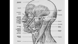 Лекция по пластической анатомии. Мышцы головы ч.3 (Г.И.Манашеров)