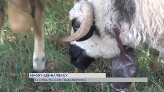 Magny-les-hameaux : les moutons en transhumance
