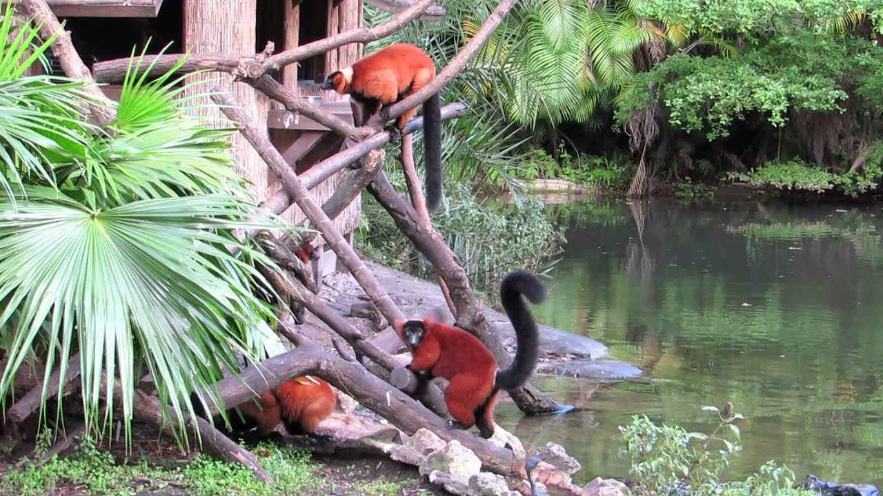 Red-bellied lemur at Palm Beach Zoo - YouTube