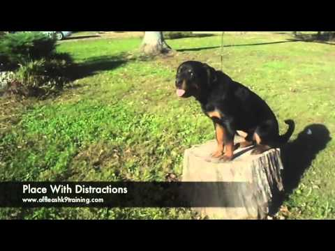 8 Month Old Rott Bubble Best Rottweiler Trainers In Virginia And