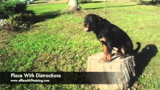 8-Month Old Rott, Bubble: Best Rottweiler Trainers in Virginia and DC