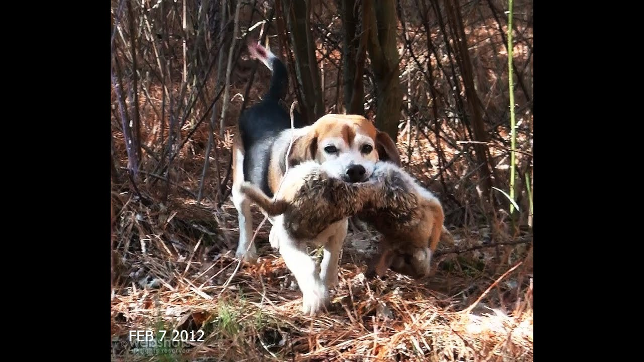 Hunting Dogs That Look Like Beagles
