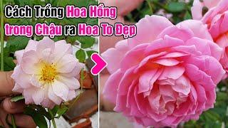 Cách trồng hoa hồng trong chậu ra hoa to đẹp.