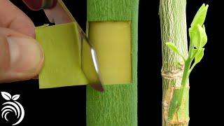 嫁接果树——如何利用补片芽接法嫁接柚子树