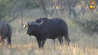 Buffalo Hunt 2018