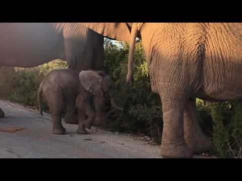 Baby Elephant Waves Hello at Addo Elephant Park - South Africa