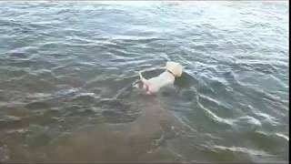 Billy The Westie Swimming