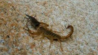 "Scorpion, stinging and eating a ""kissing"" or ""assassin"" bug"
