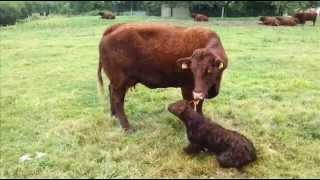 Vaches Salers, vêlage en pâture