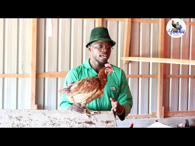 Chicken CANNIBALISM Causes & Control