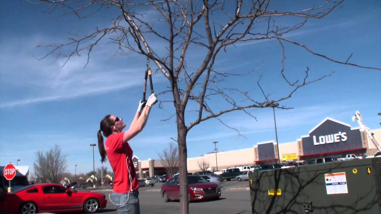 Pruning A Honey Locust Tree