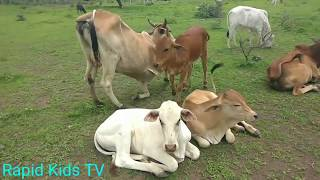 Cow Mooing and Eating | Cow Sound | Kids Cow Video