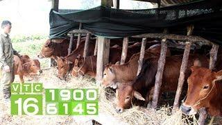 Xây nhà, thu 200 triệu/năm nhờ nuôi bò, thả cá   VTC16