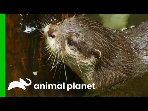Monty The Otter Gets A Dental Check Up | The Zoo