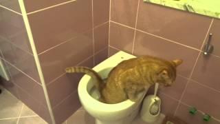 Кот писает в унитаз.