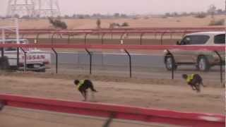 Fazza Dog Race Championship 2013 Saluqis  بطولات فزاع الصيد بالسلق - المحترفين