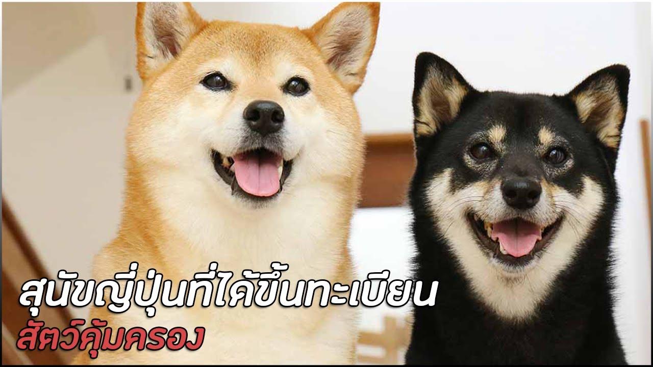 6 สายพันธุ์ สุนัขญี่ปุ่นที่ได้ขึ้นทะเบียนเป็นสัตว์คุ้มครอง