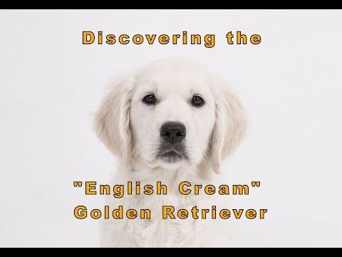 "Discovering the ""English Cream"" Golden Retriever"