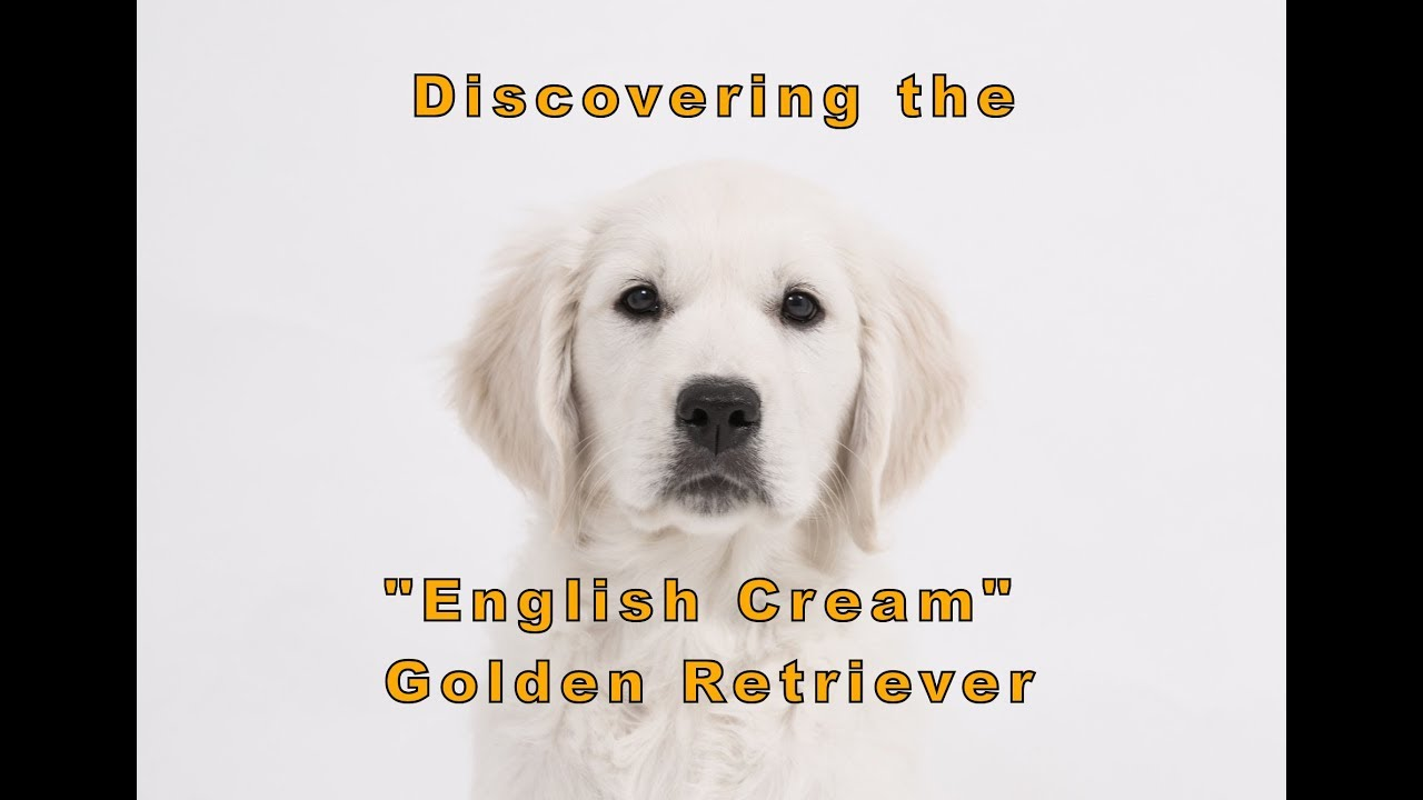 The Truth About English Cream (White) Golden Retrievers | PetHelpful
