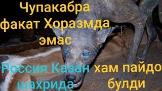 Чупакабра факат Хоразмда эмас Россия Казан шахрида хам пайдо булди
