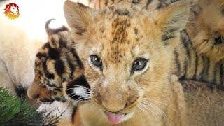 Львята и тигрята - дружные ребята. Тайган. Lion and tiger cubs friendly guys