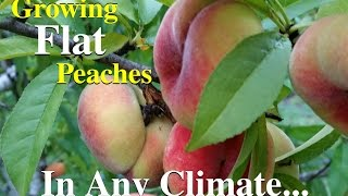 Growing Flat Peaches Fruit Tree Variety