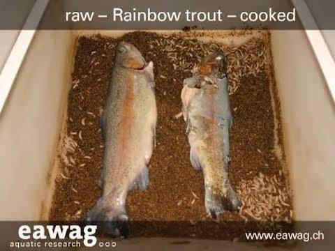 Black Soldier Flies (BSF) Larvae Eating Two Fish