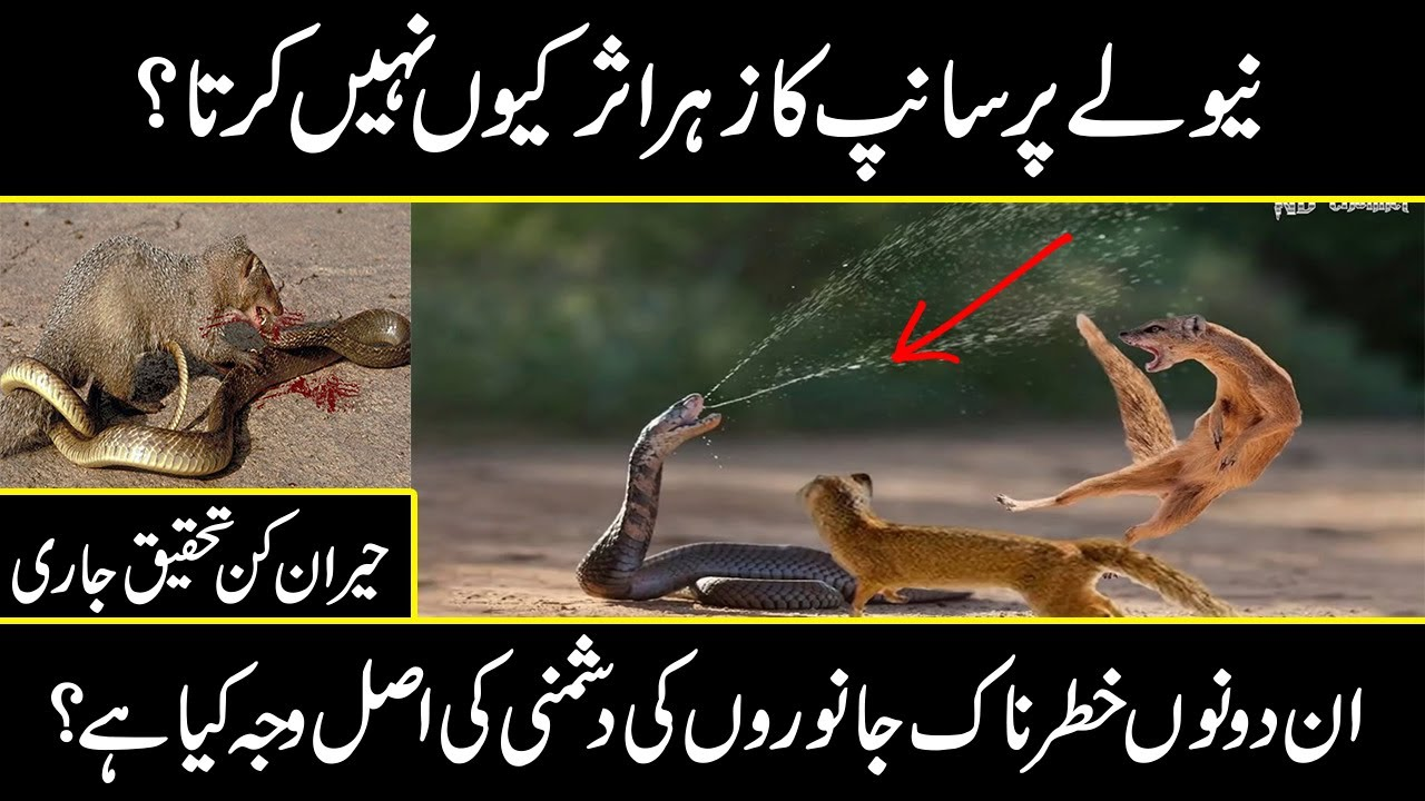 mongoose vs snake | why snakes and mongoose are enemies to each other | urdu cover