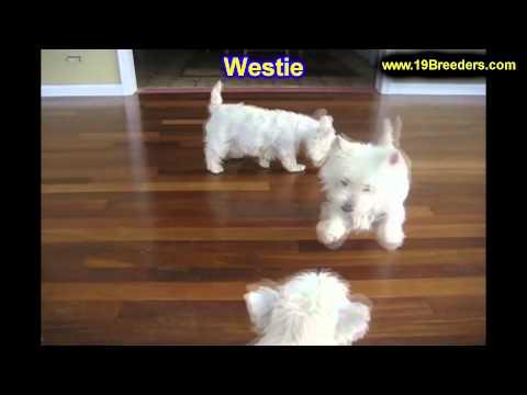 West Highland Terrier, Puppies For Sale, In, Kent, Washington, WA, Bainbridge Island, Mercer Island,
