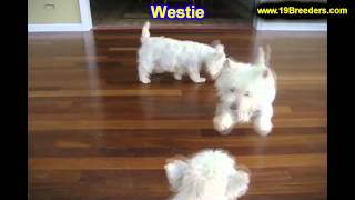 West Highland Terrier, Puppies For Sale, In, Kent, Washington, Wa, Bainbridge Island, Mercer Island,