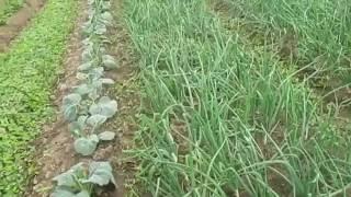 Обработка лука против мучнистой росы