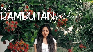 It's Rambutan Time | Home Vlog | Ahaana Krishna