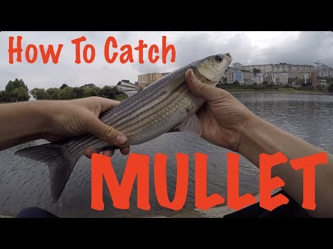 How To Catch Mullet - Fishing Guide