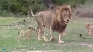 Мать Лев спасает ребенка от дикой собаки Дикая собака слишком переполнена, Лев столкнулся со многими