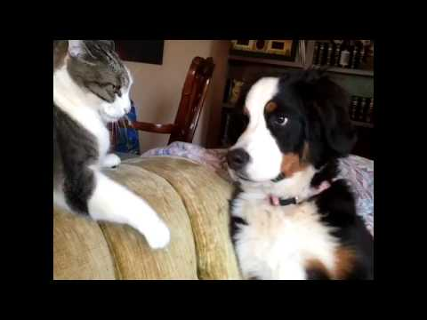 Dog VS Cat Fight -  Cat and Dog Funny Fight Compilation  - Try Not To Laugh Challenge