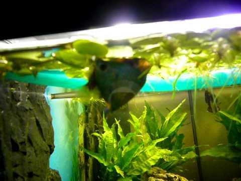 Colisa lalia Cobalt Zwergfadenfisch Paarung  YouTube