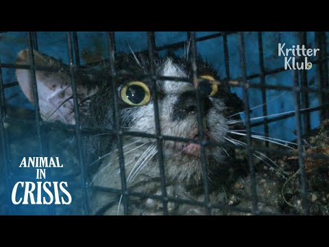 Cat Trapped In A Sewer For 70 Days Is Almost Drowned From Heavy Rain | Animal in Crisis EP79