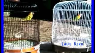 SPARING Kicau Dahsyat 2 Burung Love Bird Cantik