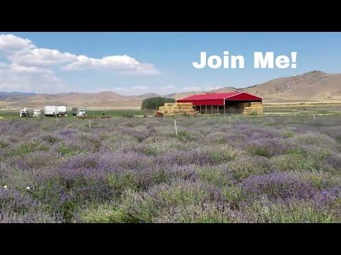 YOUNG LIVING ESSENTIAL OILS Lavender Farm In Utah