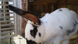Разведение кроликов: Кролики Породы Бабочка. 2015(Профессиональные кролиководы знают, что кролики породы бабочка являются оптимальным выбором для разведен..., 2015-08-23T07:03:08.000Z)