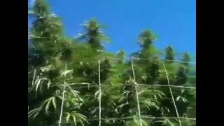 Nice Marijuana Graden In the Emerald Triangle in Norther Californa