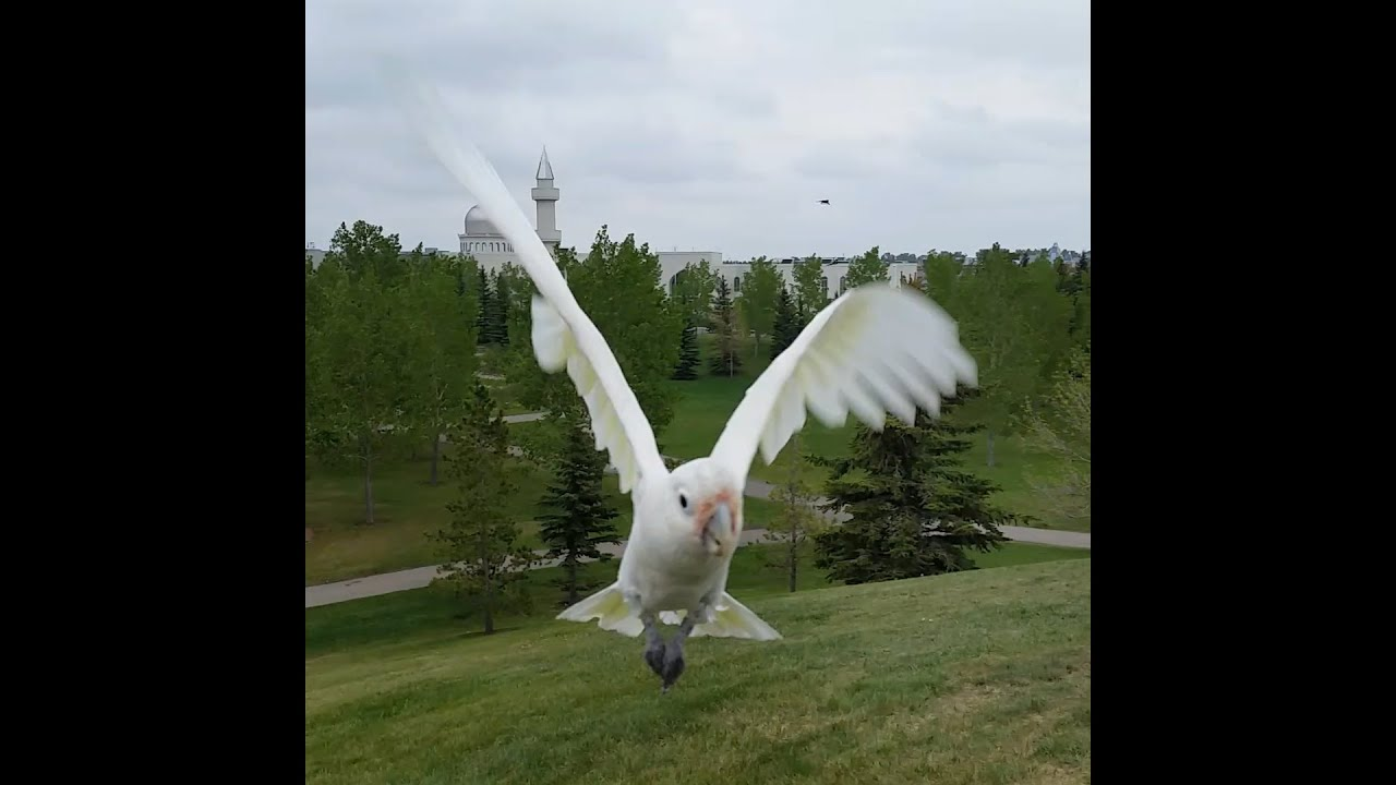 Fun with Pets! Cockatoo's Corcy and Joco go Free Flying ...