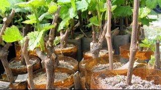 Виноград на даче: фото и видео как посадить и вырастить