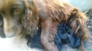 Новорожденные щенки нашей собачки.