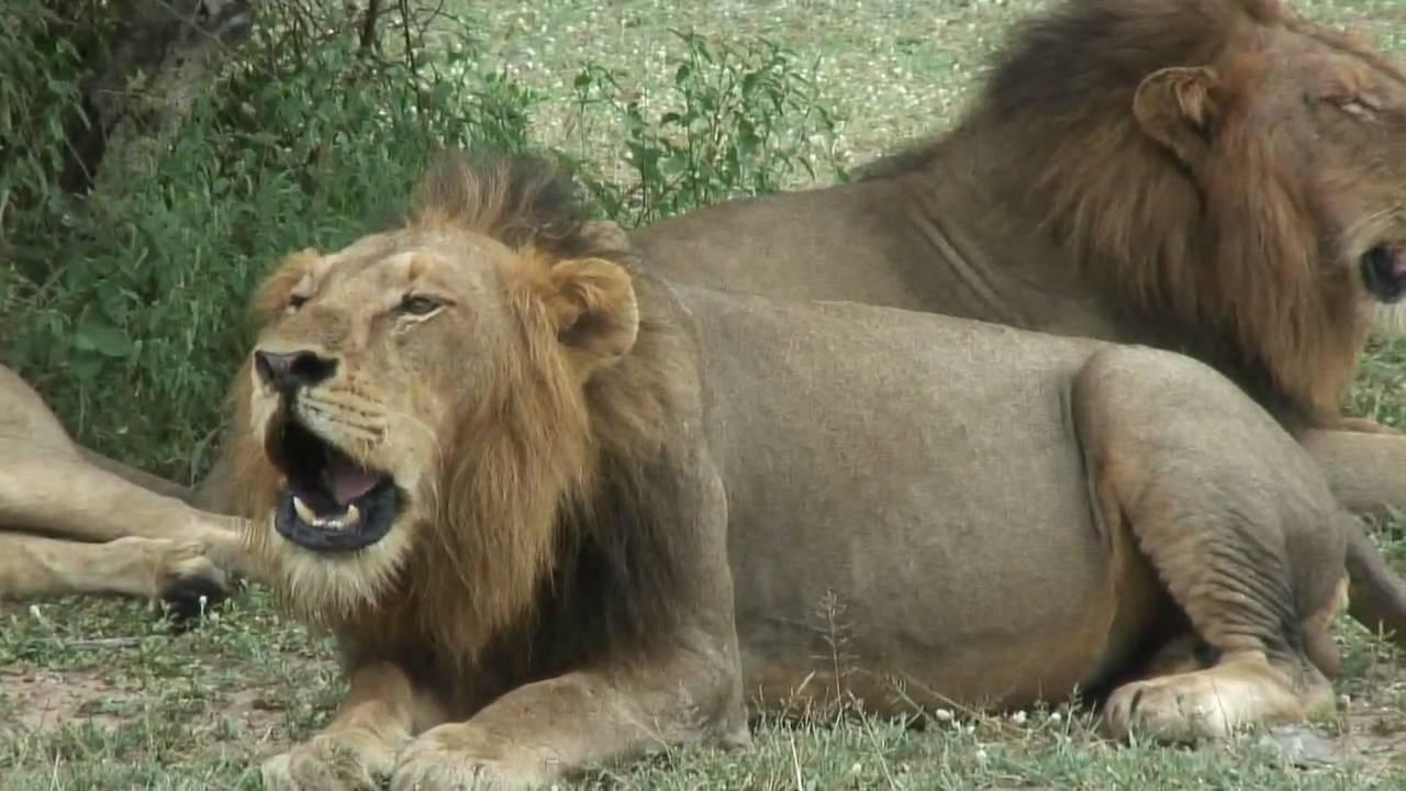 4 roaring male lions.mp4 - YouTube