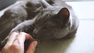 Cat and claws || Russian Blue