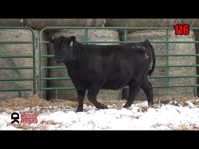 Kaiser Angus Ranch Lot 116