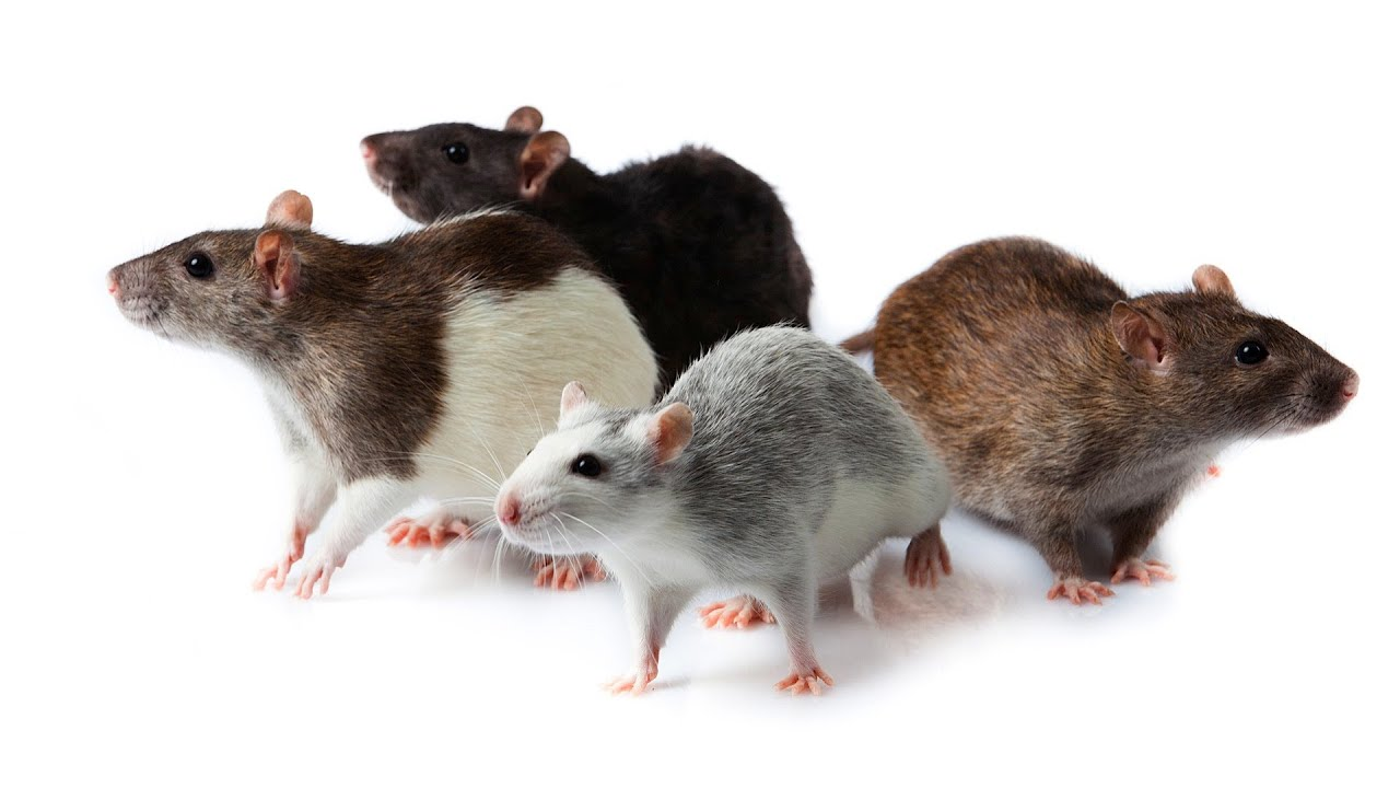 What Are Pet Rat Meetup Groups Pet Rats Youtube