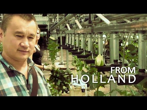 #098 Розы. Профессиональная гидропоника в Голландии. Теплица с розами (3-я серия).